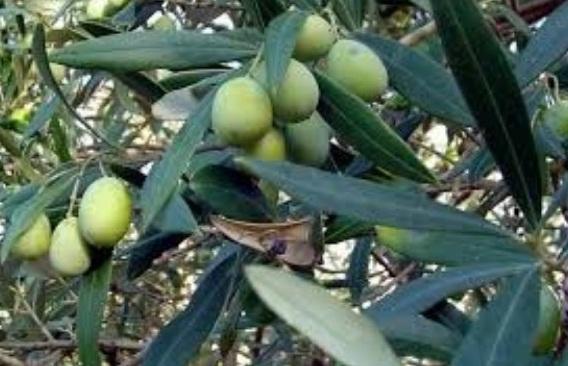 Zeytin Ağacının Yapısı ve Zeytin Yetiştiriciliği