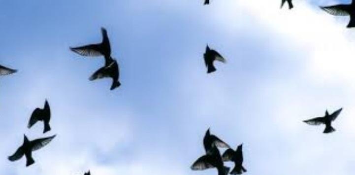 Kuşlar Yönlerini Nasıl Buluyor?