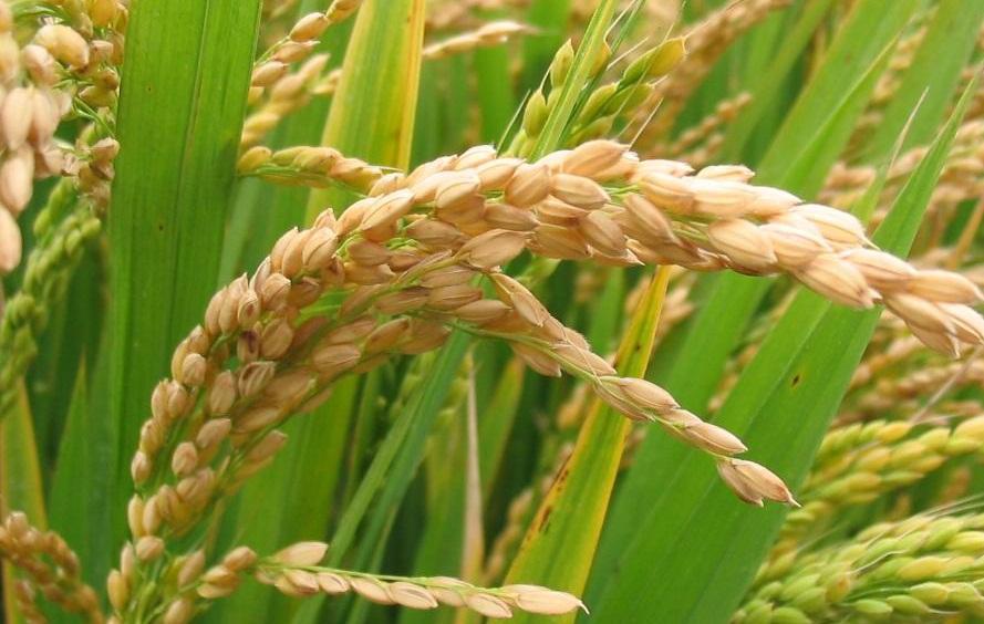 Farklı Pirinç Çeşitleri Nelerdir?