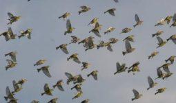 Patojenler Kuş Göçünü Nasıl Etkiler?