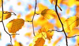 Yapraklar Neden Sonbaharda Düşer?