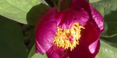 Indiana Eyaleti Çiçeği Nedir?