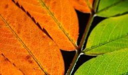 Neden Yapraklar Renk Değiştirir?