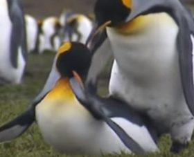 Penguenler Birbirlerini Nasıl Tanırlar?