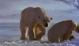 Grönland'ın Kutup Ayıları