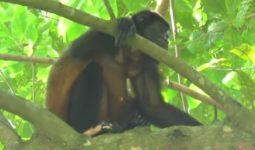 Renk Değiştiren Maymunlar