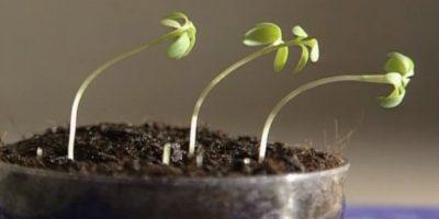 Bitkilerde Fototropizm Nedir?