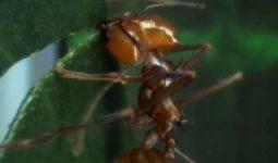 Karıncaların Kanı Var Mı?