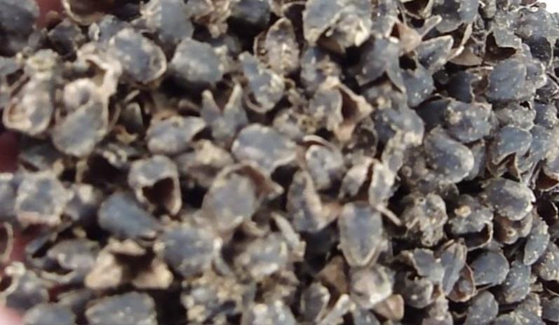 Karabuğday Kabuğu'nun Sağlığa Faydaları