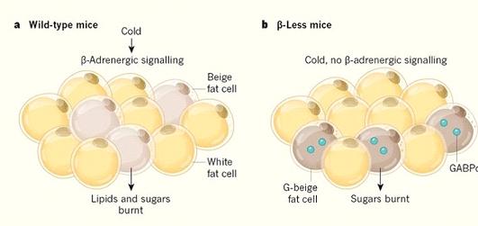 Yağ Hücreleri İle Kilo Verilebilir Mi?