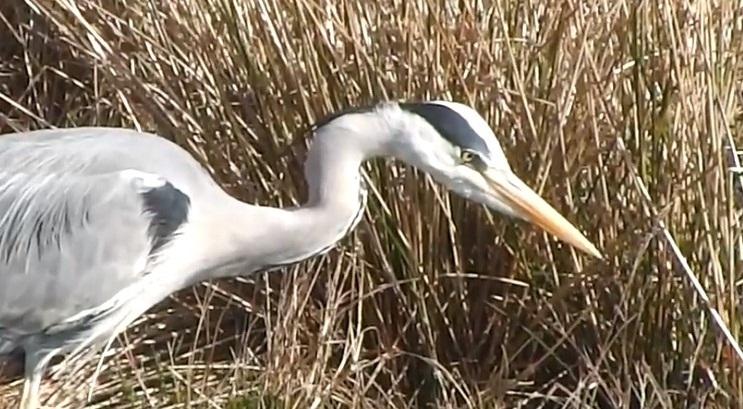Dalmaçyalı Pelikan Nasıl Hayvanlardır?