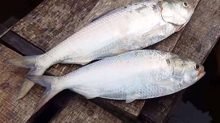 Hilsa Balığı Nasıl Çoğalır?