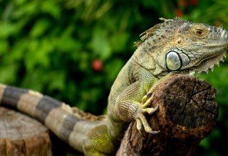 Yeşil İguanalar Doğada Nasıl Yaşarlar?