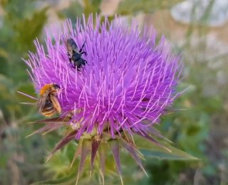 Devedikeni Bitkisinin Önemi Nedir?