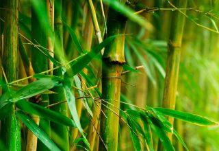 Bambu Bitkileri Suda Nasıl Büyür?