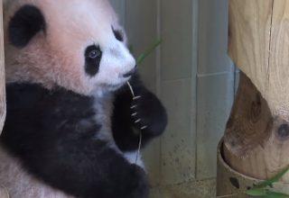 Pandalar Neden Ayı'ya Benzerler