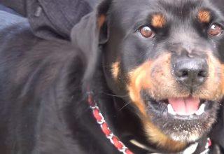 Rottweiler Diğer Köpekler İçin Tehlikeli mi?