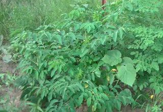 Moringa Yaprakları Nasıl Kullanılır?