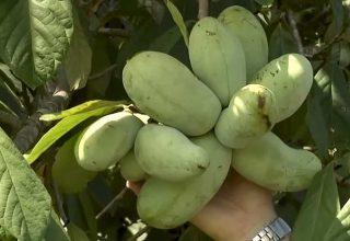 Pawpaw Nasıl Bir Meyvedir?