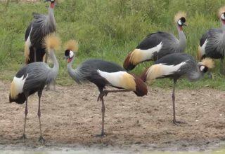 Turna Kuşlarının Bilinmeyen Özellikleri