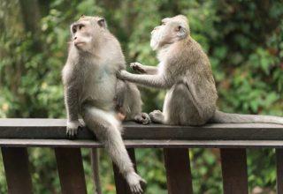 Primatlar Neden Yok Olma Kriziyle Karşı Karşıya