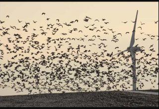 Rüzgar türbinleri Kuşlar İçin Tehlikelimidir?