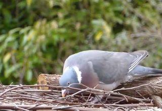 Güvercinlerin Bilinmeyen Yanları