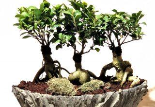 Bonsai Ağacı (Çiçeği) Nedir ?
