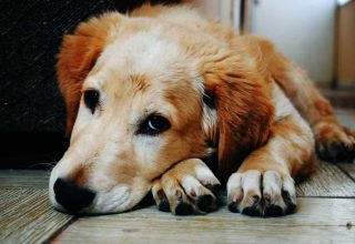Köpekler Ve Kediler Neden Çok Tüy Dökerler?