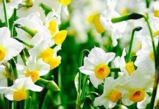 Nergis Çiçeği Özellikleri Nelerdir? Bitkiler Alemi