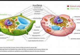 Bitki ve Hayvan Hücreleri Neden Farklıdır?