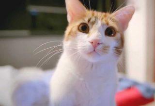 Kedilerin Bıyıkları Yaşamını Nasıl Etkiler?