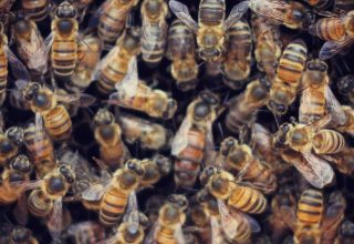 Bal Arılarının Yaşam Döngüsü
