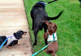 Köpekler Neden Birbirlerini Koklarlar?